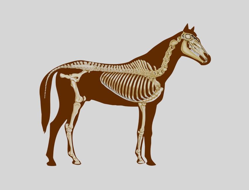 Anatomie eines Pferdes