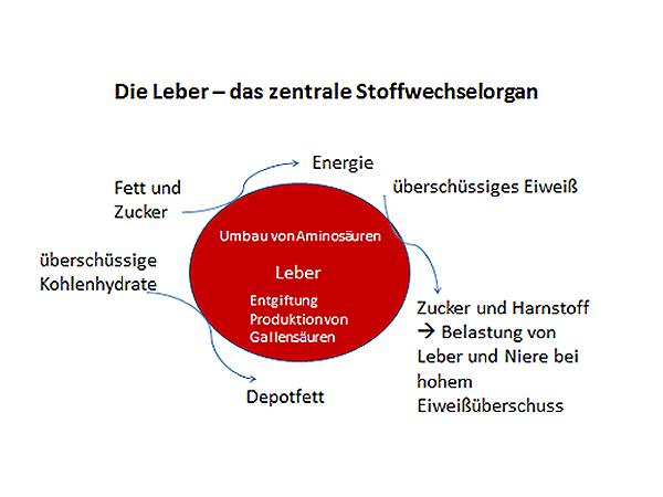 Die Leber - das zentrale Stoffwechselorgan